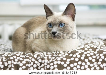 A beautiful bluepoint siamese cat laying on a bed with a brown and white polkadot comforter. - stock photo
