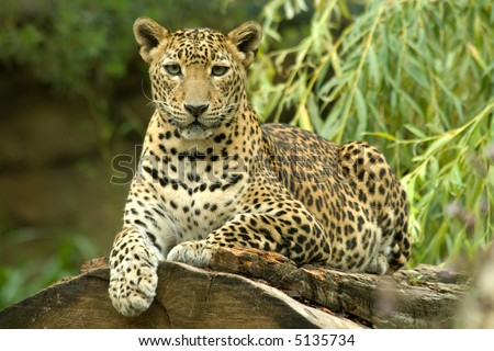 a beautiful body of young leopard - stock photo