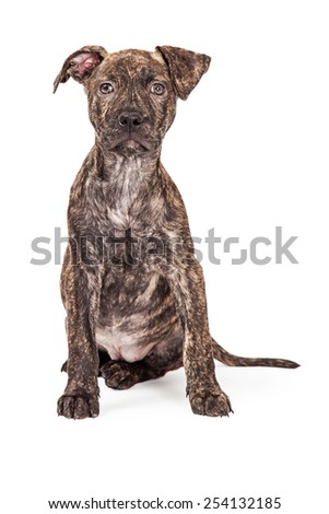 A beautiful brindle color Pit Bull crossbreed four month old puppy sitting and looking at the camera - stock photo