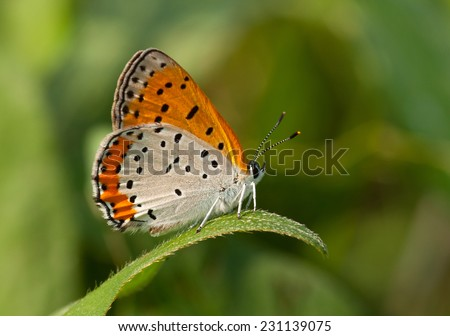 A beautiful Bronze Copper butterfly rests on a low leaf over a Wisconsin wet meadow. - stock photo