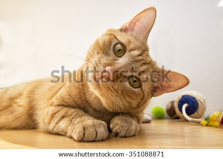 a beautiful brown cat with a silly face - stock photo