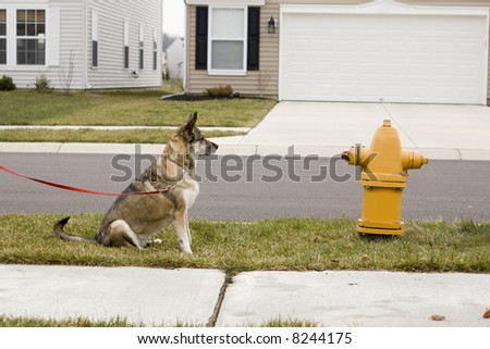 a beautiful brown dog waiting patiently to get to the fire hydrant