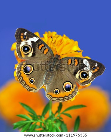 A beautiful Buckeye butterfly (Junonia coenia) on an orange marigold with blue sky in the background. - stock photo