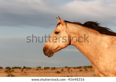 a beautiful buckskin horse looking alert over the prairie - stock photo