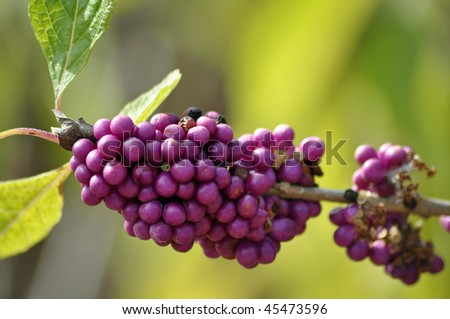 a beautiful bunch of berries - stock photo