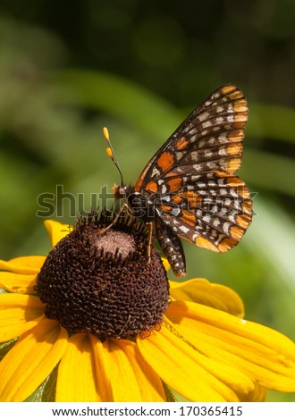 A beautiful butterfly called a Baltimore Checkerspot is nectaring on a Black-eyed Susan along a northern Wisconsin forest road. - stock photo