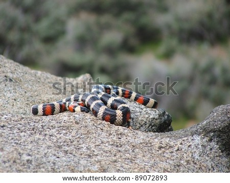 A beautiful California (Sierra) Mountain Kingsnake, Lampropeltis zonata multicincta - stock photo