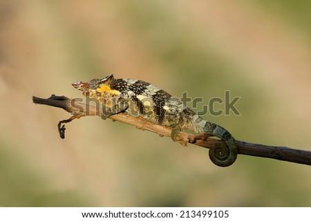 A beautiful chameleon in the serengeti National Park. Tanzania - stock photo