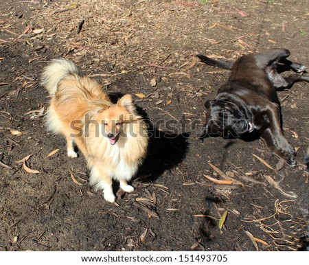 A beautiful cheeky spirited designer dog with long coat  is playing with a shiny black labrador kelpie cross breed  on a sunny day in spring. - stock photo