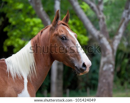 A beautiful chestnut mare at the edge of a forest - stock photo