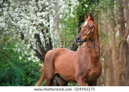 A beautiful chestnut stallion Arabian horses standing under a blossoming tree on a green spring background. - stock photo