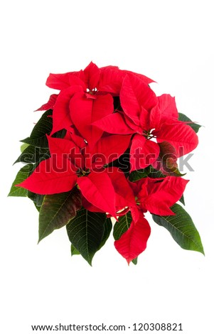 A beautiful christmas euphorbia.