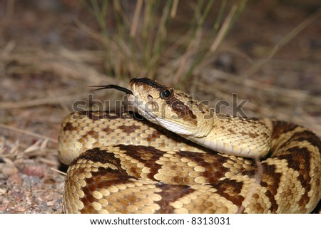 A beautiful close image of a black-tailed rattlesnake from southern Arizona. - stock photo
