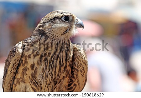 A beautiful closeup of a falcon - stock photo