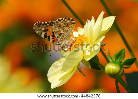 A beautiful colored butterfly on a yellow flower - stock photo