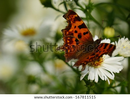 A beautiful comma butterfly. - stock photo