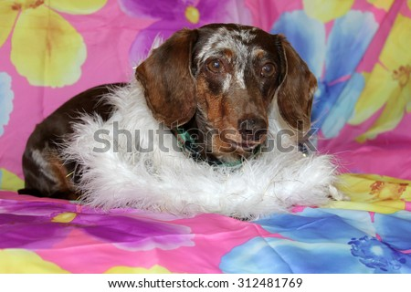 A Beautiful Dachshund Puppy aka Wiener Dog shows off her unique style and fashion statement as he wears and models a White Feather Boa. Wiener Dogs and Dachshunds are loved by millions.  - stock photo