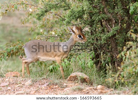A beautiful Dik Dik antelope near a bush - stock photo
