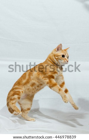 A Beautiful Domestic Orange Striped cat Jumping and playing with a toy mouse, back legs on the ground. Animal portrait against white background