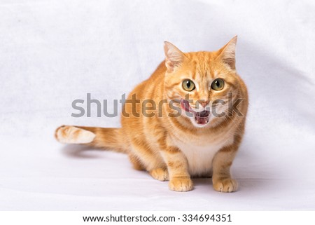 A Beautiful Domestic Orange Striped cat tongue out funny. Animal portrait.