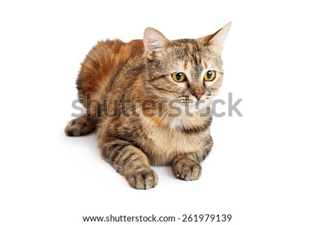 A beautiful Domestic Shorthair Tortie Cat laying while looking off to the side.   - stock photo