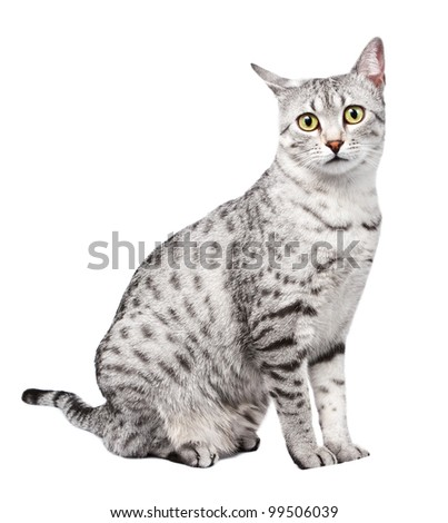 A beautiful Egyptian Mau Cat Looks Directly at Camera, sitting sideways.  One ear is titled backwards