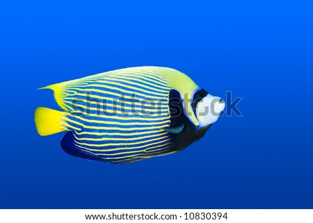a beautiful emperor angelfish swimming in blue water