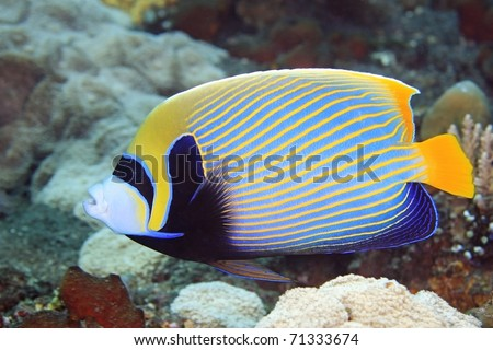 A Beautiful Emperor Angelfish swimming on the reef, underwater. - stock photo
