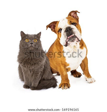 A beautiful English Bulldog and a pretty gray cat sitting nicely together and looking at the camera  - stock photo