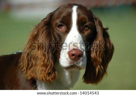 A beautiful English Springer Spaniel dog head portrait with cute expression in the face watching other dogs in the park - stock photo
