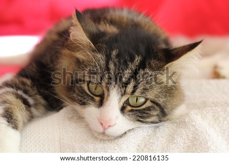 A beautiful European tabby cat resting on a white towel . - stock photo