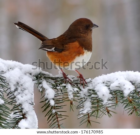 A beautiful female Eastern Towhee (Pipilo erythrophthalmus) on a snowy spruce bough. - stock photo