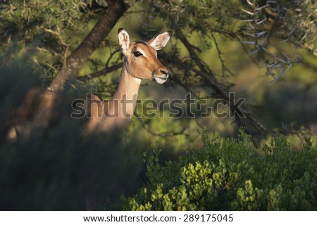A beautiful female impala ewe in this photo from Africa - stock photo