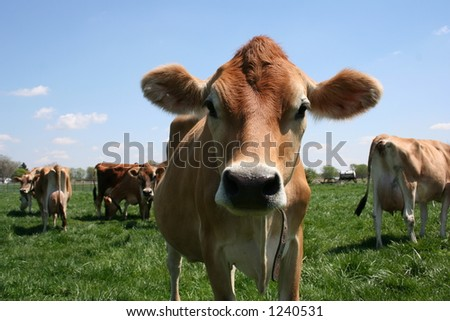 A beautiful female Jersey cow in pasture - stock photo