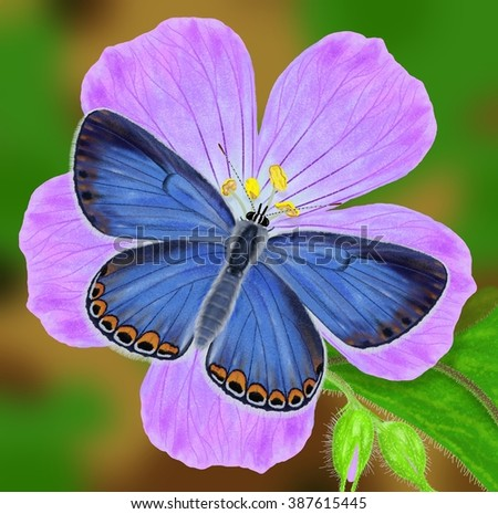 A beautiful female Karner Blue butterfly (Lycaeides Melissa samuelis) at wild Geranium maculatum illustrated by Steven Russell Smith. - stock photo