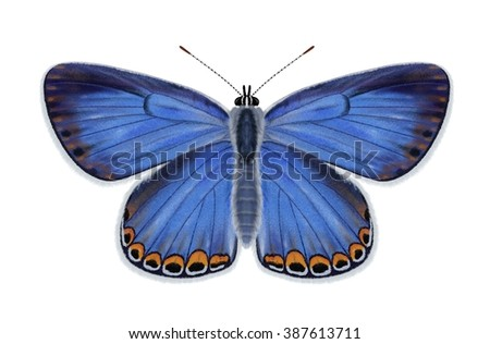 A beautiful female Karner Blue butterfly (Lycaeides Melissa samuelis) Isolated on a white background illustrated by Steven Russell Smith. - stock photo