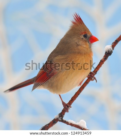 A beautiful female Northern Cardinal (Cardinalis cardinalis) on a snowy branch with blue sky in the background. - stock photo
