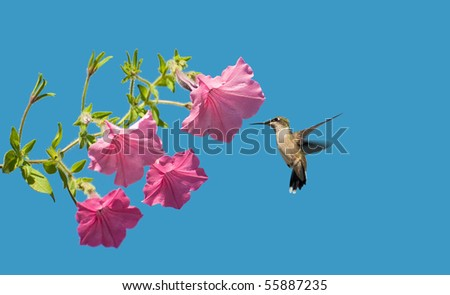 A beautiful female ruby throat hummingbird approaches some petunia flowers in the sunshine with room for your text. - stock photo