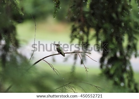 A beautiful female Ruby Throated Hummingbird (archilochus colubris) perched on a branch in the trees after a heavy summer rain storm. Extreme shallow depth of field with selective focus on bird. - stock photo