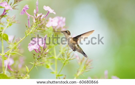 A beautiful female ruby throated hummingbird in the garden in summer. - stock photo