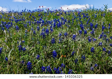 A Beautiful Field Blanketed with the Famous Texas Bluebonnet (Lupinus texensis) Wildflowers. - stock photo