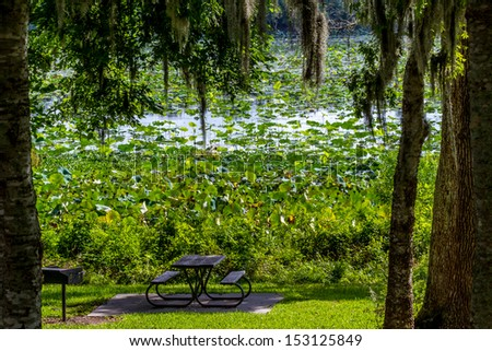 A Beautiful Field of Yellow Lotus (aka Nelumbo lutea or American Lotus) Water Lily Flower, Water Hyacinth, and Other Water Plants Growing Wild in Texas.  A Picturesque park picnic table.