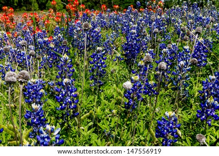 A Beautiful Field Packed Full with the Famous Texas Bluebonnet (Lupinus texensis) and Bright Orange Indian Paintbrush (Castilleja foliolosa) Wildflowers. - stock photo