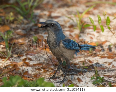 A beautiful Florida Scrub Jay, a federally threatened species, forages for food on a central Florida scrub area. - stock photo