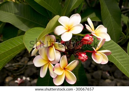 A beautiful flower found on the Big Island of Hawaii - stock photo