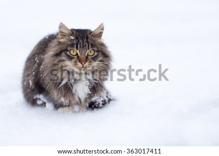 A beautiful freezing homeless cat covered in snow in winter - stock photo