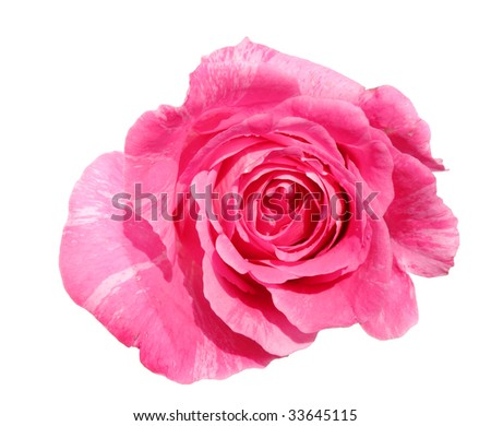 a beautiful fresh pink rose isolated on white