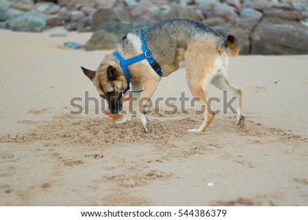 A Beautiful German Sheppard playing and running on the beach