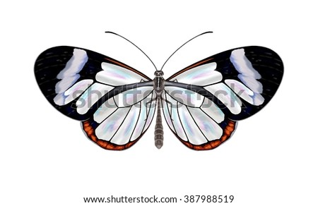 A beautiful Glasswinged butterfly (Greta oto) isolated on a white background illustrated by Steven Russell Smith. - stock photo