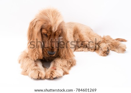 A Beautiful Golden Cocker Spaniel dog laying down patiently waiting to eat his treat.